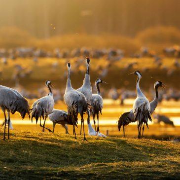 Kraftdyr: Tranefugl og falk